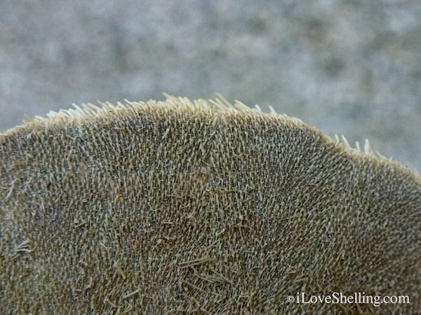 sand dollar cilia