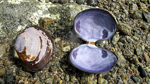 purple varnish clam shells front inside