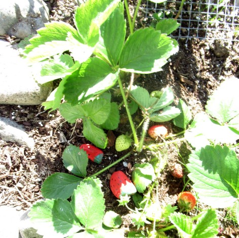 rock strawberries
