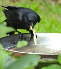 crow dipping in water